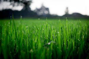 Rasen gepflegt